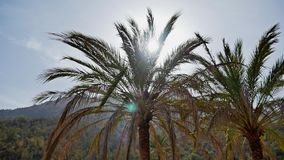Palm Tree Sunshine FHD. Footage of palm trees and sunshine falling through the leaves stock video