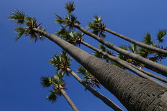 Palm tree of superiority. Very tall palm trees lasting on a diagonal in heavens Stock Images