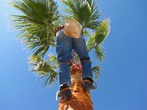 Palm tree surgeon 4-09 Royalty Free Stock Photo