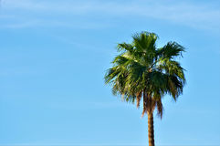 Palm Tree. Swaying gently in the warm desert air this single majestic palm tree highlights the brilliant blue sky with its presence royalty free stock photo