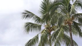 Palm Tree Swaying in the wind. In Hawaii on the island of Oahu stock footage