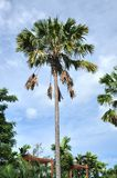 Palm Tree Tall Top Sky Stock Photography