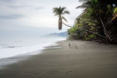 Palm tree on te beach. A solitary palm tree leans over the black sand of the beach at the entrance of the Corcovado National Park in Costa Rica royalty free stock photography