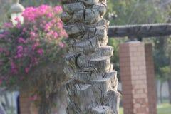 Texture of a Palm Tree Bark in a garden, Dubai. Stock Image