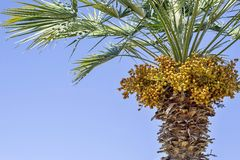 Palm tree and there are a lot of yellow fruits Stock Image