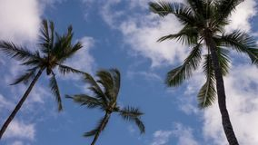Palm Tree Time Lapse Video. Time lapse video shows three palm trees blowing in the wind with fast moving clouds stock video