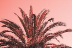 Palm toned in a living coral color. Palm tree toned in a living coral color royalty free stock photography