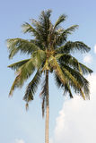 Palm tree-top Stock Images