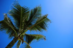 Palm Tree Top With Blue Sky Royalty Free Stock Photography