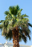 Palm tree top (closeup) Royalty Free Stock Photography
