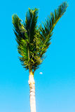 Palm Tree Top With The Moon Stock Photography