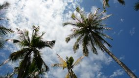 Palm tree top on a sunny day. With a cloudy blue sky stock footage