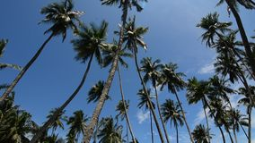 Palm tree top on a sunny day. Palm (coconut) tree top on a sunny day with a cloudy blue sky stock video footage