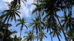 Palm tree top on a sunny day. Many palm (coconut) tree tops on a sunny day with a cloudy blue sky stock footage