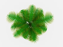 Palm tree on top view Royalty Free Stock Image
