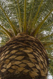 Palm Tree Top Royalty Free Stock Photography