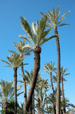 Palm tree tops Royalty Free Stock Photography