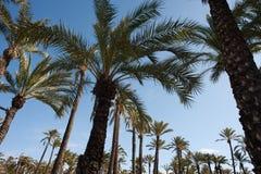 Palm tree tops Royalty Free Stock Photo
