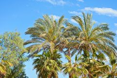 Palm tree tops against a blue sky Royalty Free Stock Photography