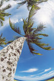 Palm tree tops against sky Royalty Free Stock Image