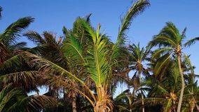 Palm tree tops and blue sky. Shot of palm tree leaves and branches with beautiful blue sky and small white clouds stock video
