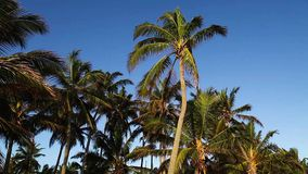 Palm tree tops and blue sky. stock footage