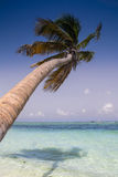 Palm Tree. S on a Caribbean beach Royalty Free Stock Images