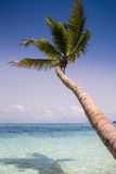 Palm Tree. S on a Caribbean beach Royalty Free Stock Photography