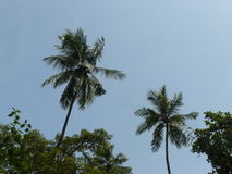 Palm tree. S in Goa India Stock Photos