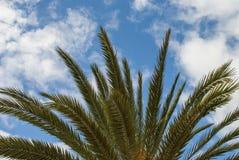 Palm tree - treetop Royalty Free Stock Photos