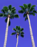 Palm Tree Triad 2. A trifecta of palm trees against a blue sky Stock Images