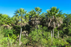 Palm tree in tropic forest Royalty Free Stock Image