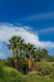 Palm tree in tropic forest Royalty Free Stock Photo