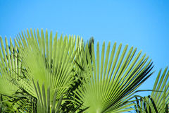 Palm tree in tropic forest Stock Photography