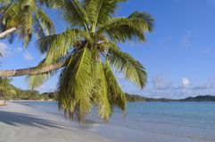 Palm Tree on Tropical Beach. Palm Tree reaches out on sandy, tropical beach stock image