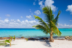 Palm tree on the tropical beach. Saona Island, Caribbean Sea, Dominican Republic Royalty Free Stock Photography