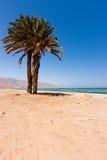 Palm tree on a tropical beach. A single palm tree on a deserted beach in the Egyptian Sinai stock photo