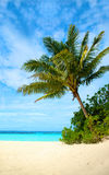 Palm tree in a tropical beach Royalty Free Stock Photos