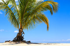 Palm tree on a tropical beach against a blue sky Stock Photography