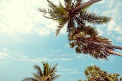 Palm tree on tropical beach. With blue sky and sunlight in summer, uprisen angle. vintage  filter effect royalty free stock photo