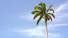 Palm tree on tropical beach in Brazil. One palm tree slowly waving under a clear blue sky in Olinda, Pernambuco, Brazil stock video footage