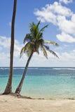 Palm tree at tropical beach. Palm tree at Caribbean Sea beach Royalty Free Stock Image