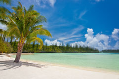 Palm tree on a tropical beach, Isle of Pines Royalty Free Stock Photos