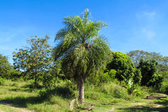 Palm tree in tropical forest Stock Images
