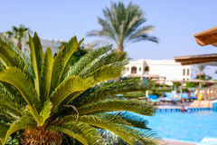 Palm tree at a tropical holiday resort. Close up view of the fronds and crown of a lush green palm tree at a tropical holiday resort overlooking a blue swimming Royalty Free Stock Images