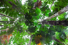 Palm tree tropical rain forest canopy Australia Royalty Free Stock Photos