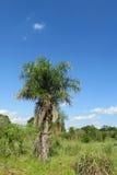 Palm tree in tropics Stock Photography