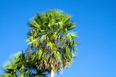 Palm tree in tropics Royalty Free Stock Image