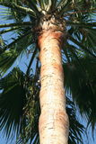 Palm tree trunk. High Tropical Palm tree trunk Royalty Free Stock Photography