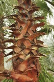 Palm tree trunk Royalty Free Stock Photography